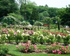 Mohegan Park Rose Garden in Norwich, CT