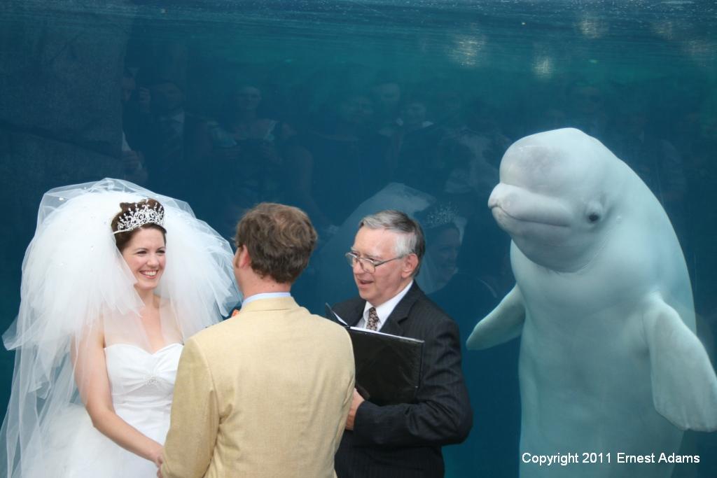 juno the beluga whale witnesses kimberly and kevins wedding at mystic aquarium