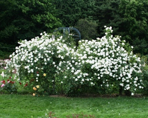 White roses in bloom near the rose-covered gazebo at Pardee Rose Garden in New Haven, CT